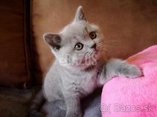 Zvieratá predaj   ponuka Banská Bystrica Britské mačiatka s PP eb7734767b4