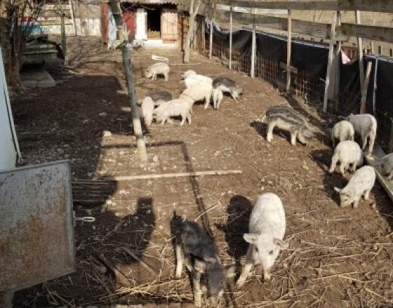 Zvieratá predaj   ponuka Komárno Odstavcata mangalice 8f0b6af28f3