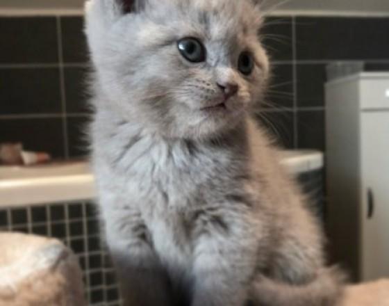 Zvieratá predaj   ponuka Martin Britské mačiatka čistokrvné bez PP d3c50f65f69